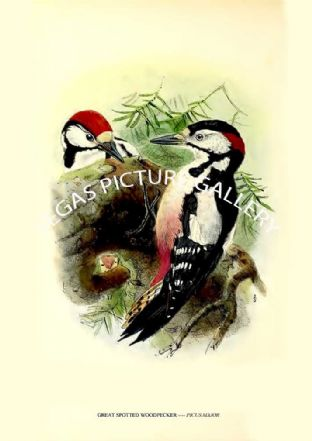 GREAT SPOTTED WOODPECKER ---- PICUS MAJOR